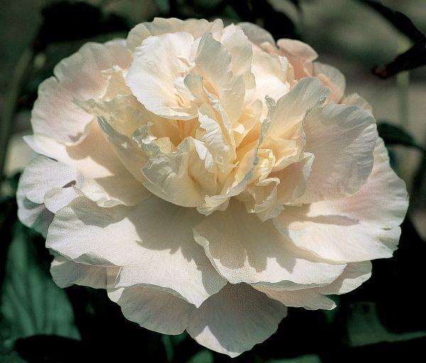 пион Camelia White