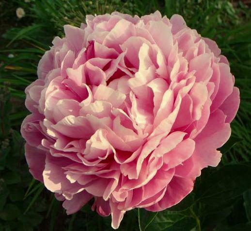 пион Lavender Bouquet